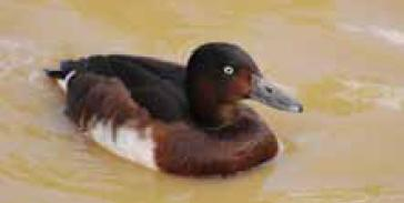Baer's Pochard (Aythya baeri) sighted in Chashma Barrage