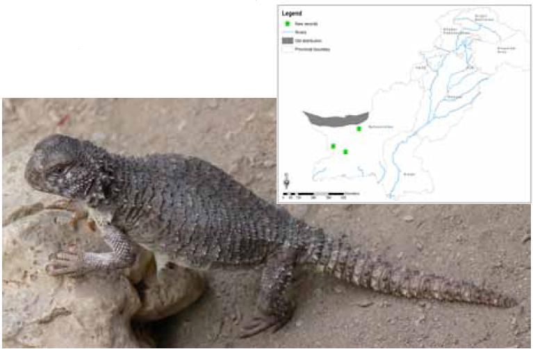 New distribution Range of Seistan spiny-tail ground lizard (Uromastyx Asmussi) in Pakistan