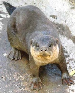 Articles on Otters