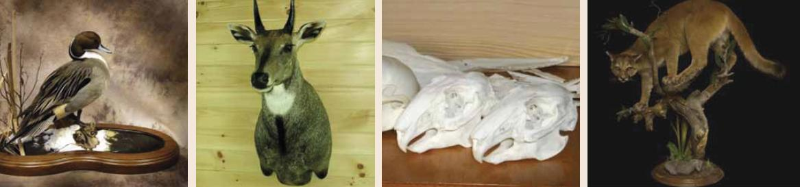 Basic Skill Learning in Taxidermy and Natural History Museum Development (5-days Training Course)