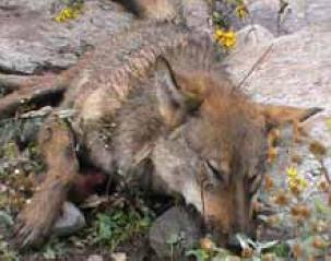 Wolf Killed in AJK