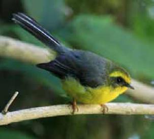 Yellow-bellied Fantail Flycatcher (Rhipidura hypoxantha) sighted
